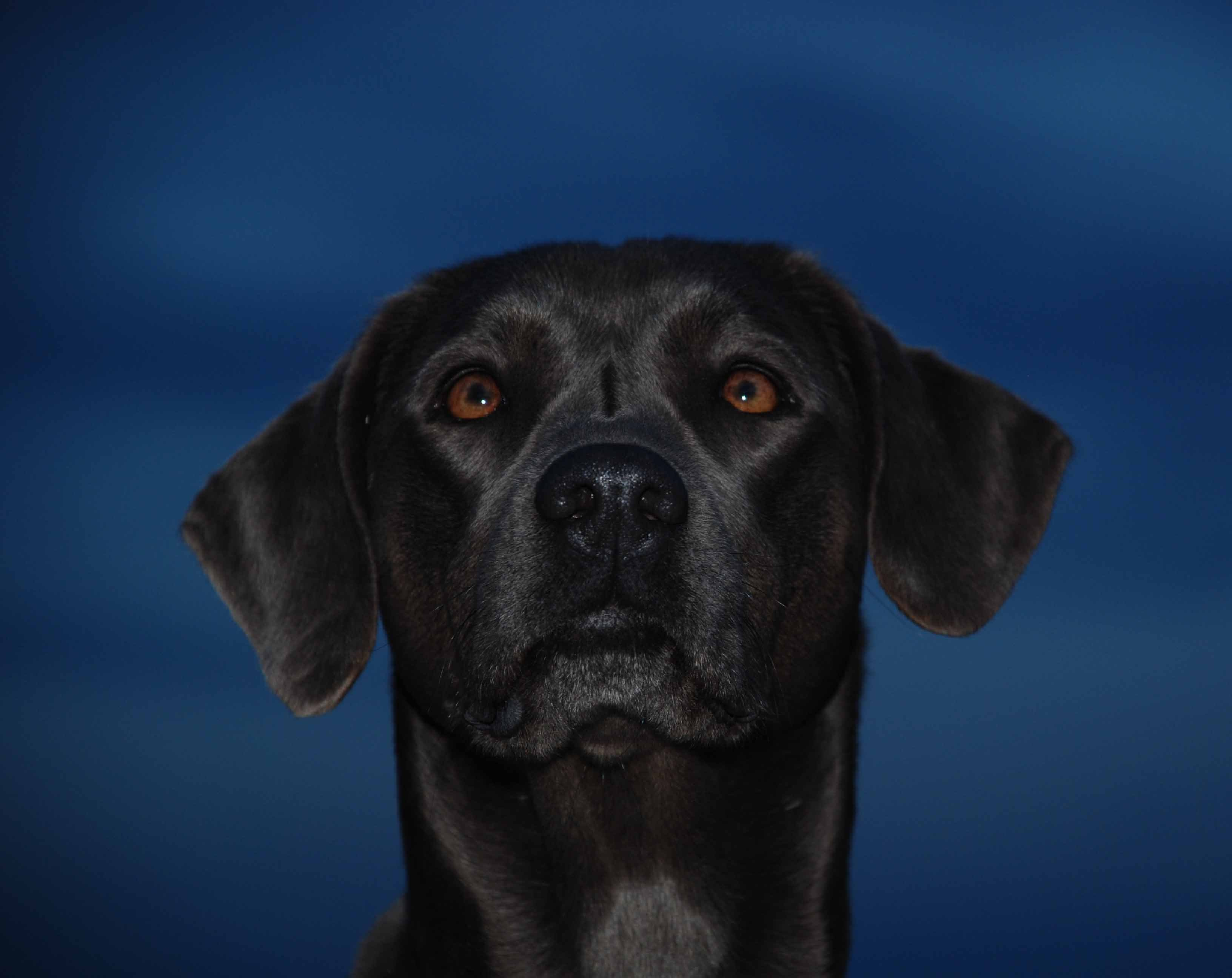 PPR's Jessie Blue Lacy Dog Head with Dark Blue Night Sky Behind Her