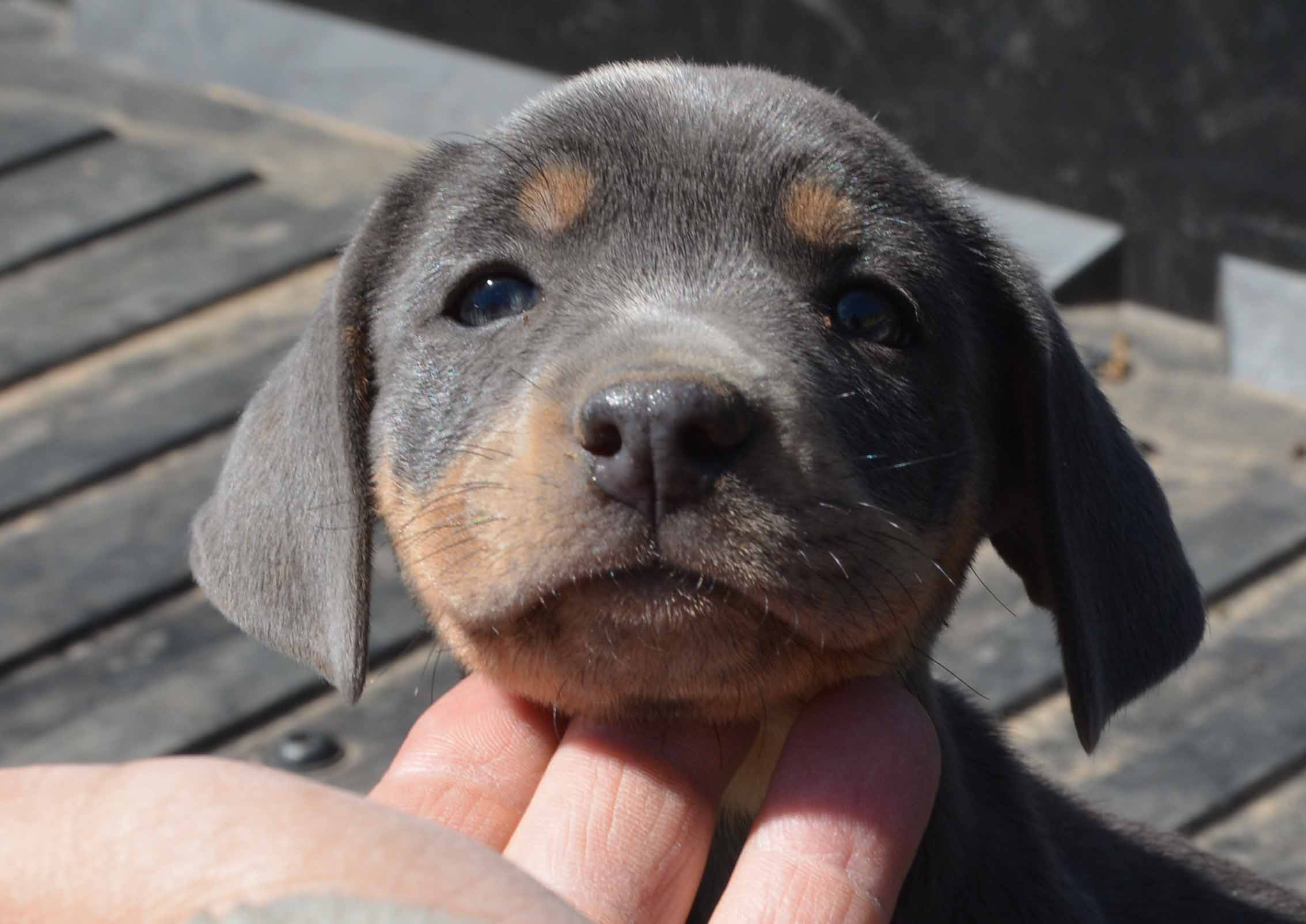 Blue Lacy Puppy, Tricolor Female PPR-170002 Alabama
