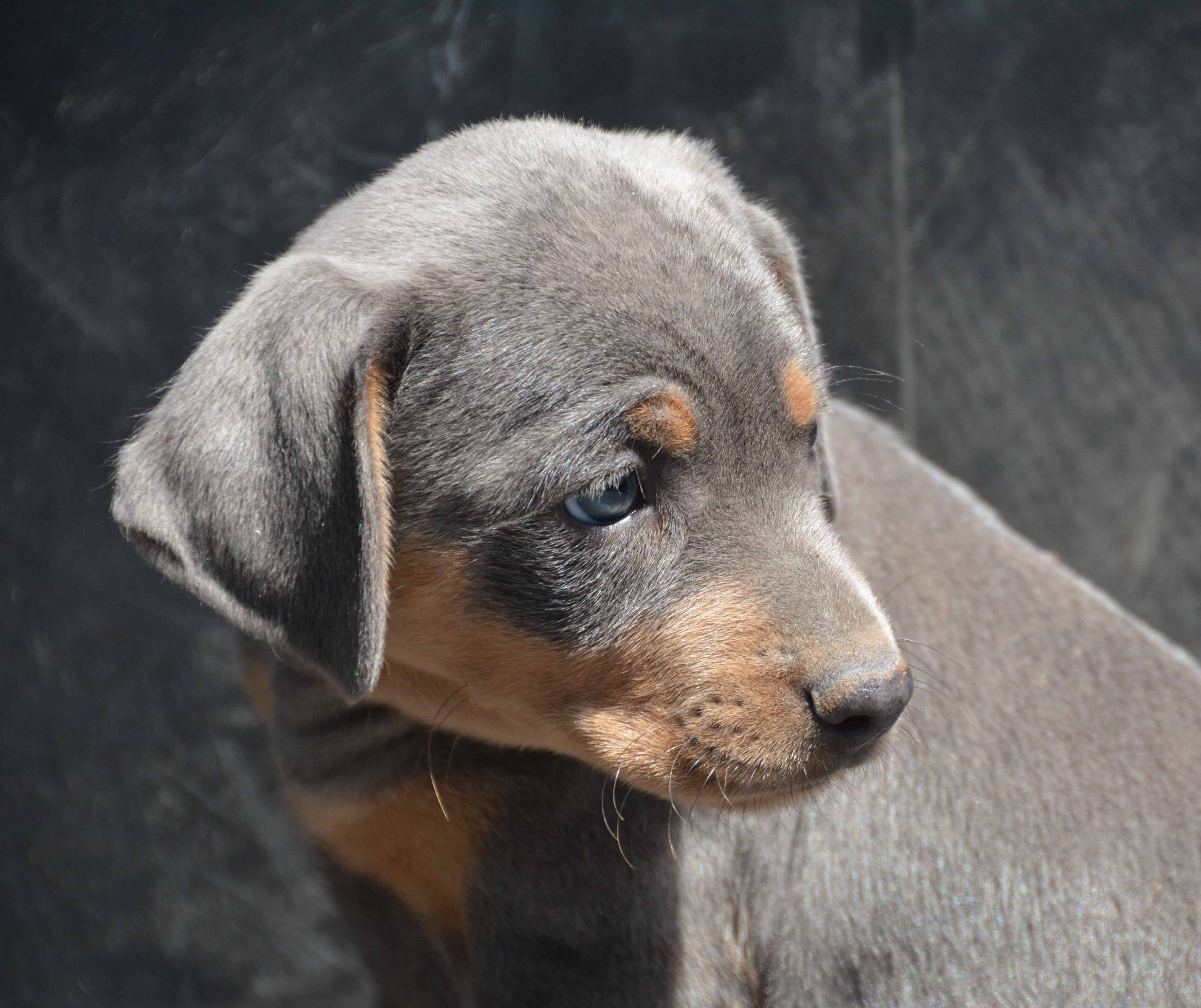"Trixie and Mowgli Male Blue Lacy Tricolor Pup ""Spot"""