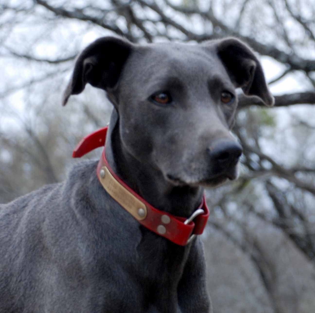 PPR's Sissy, Blue Lacy Dog with Rose style ears.
