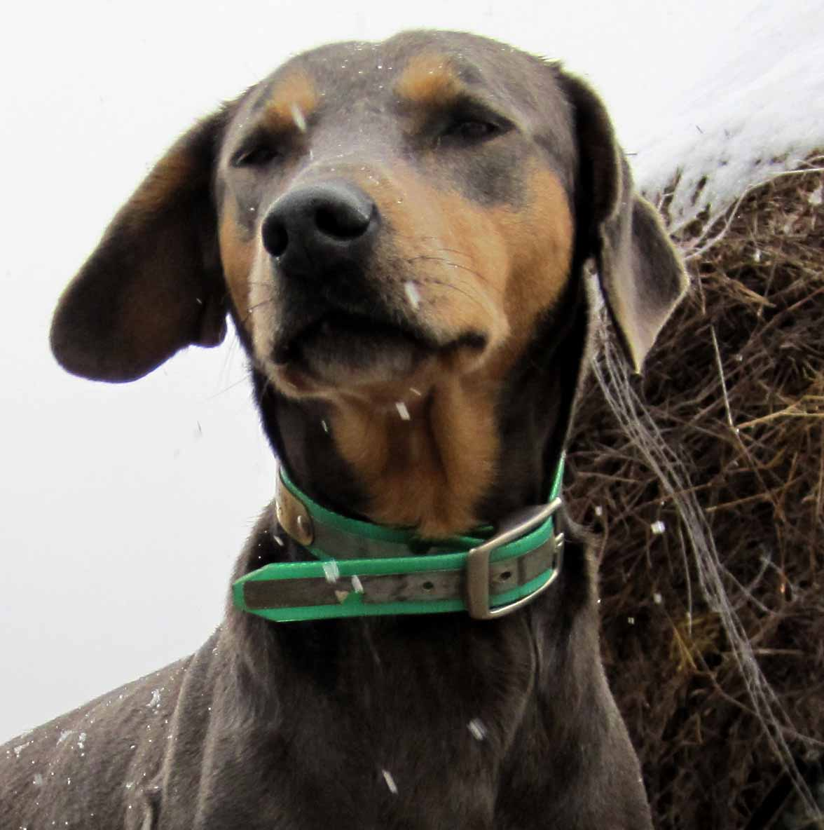 PPR's Grace, tricolor Blue Lacy dog on back of our hay truck in a light, windy snow.