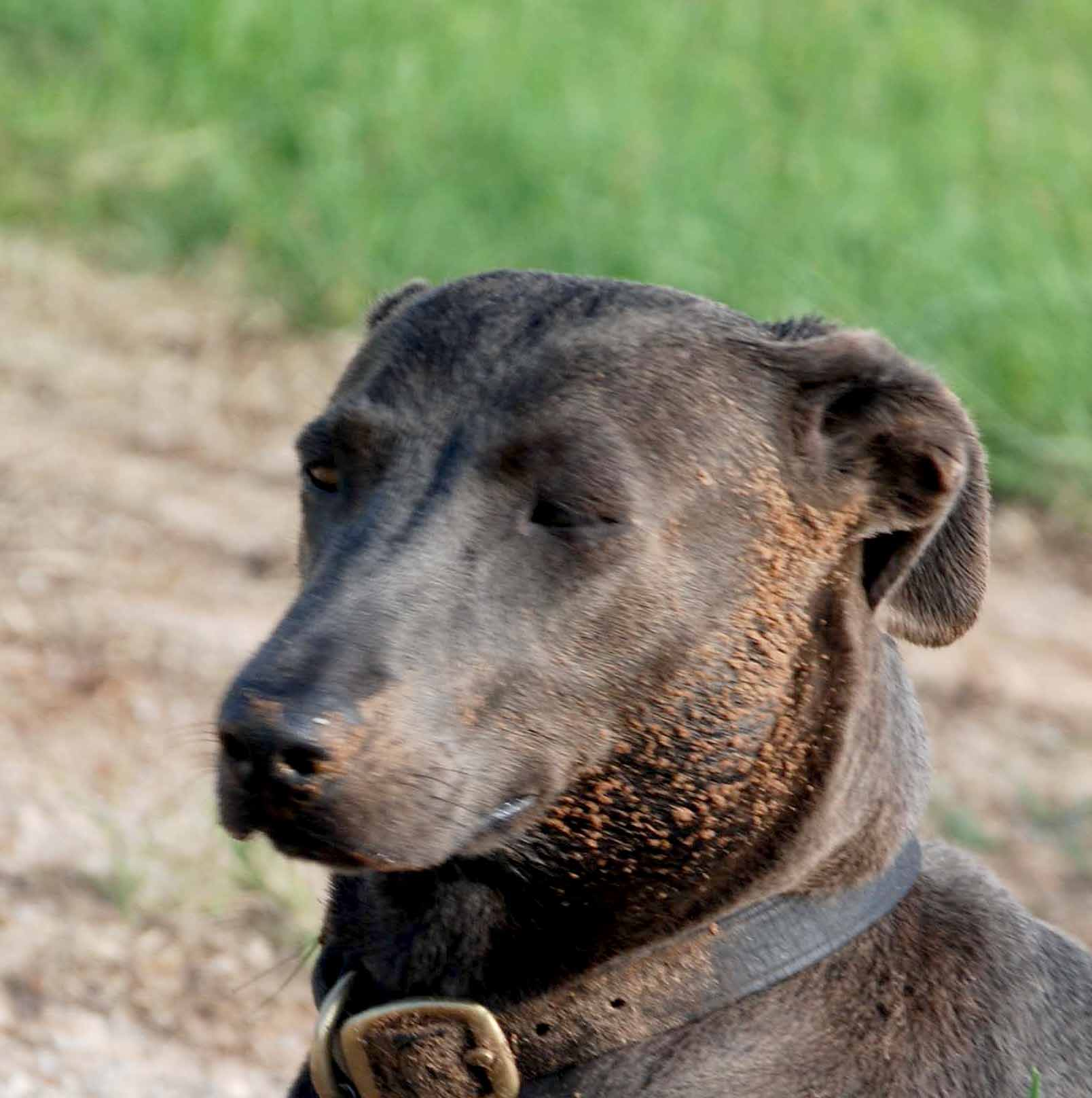 Blue Lacy Dog PPR's Billie Relaxing with a Roll in the Dirt after Work