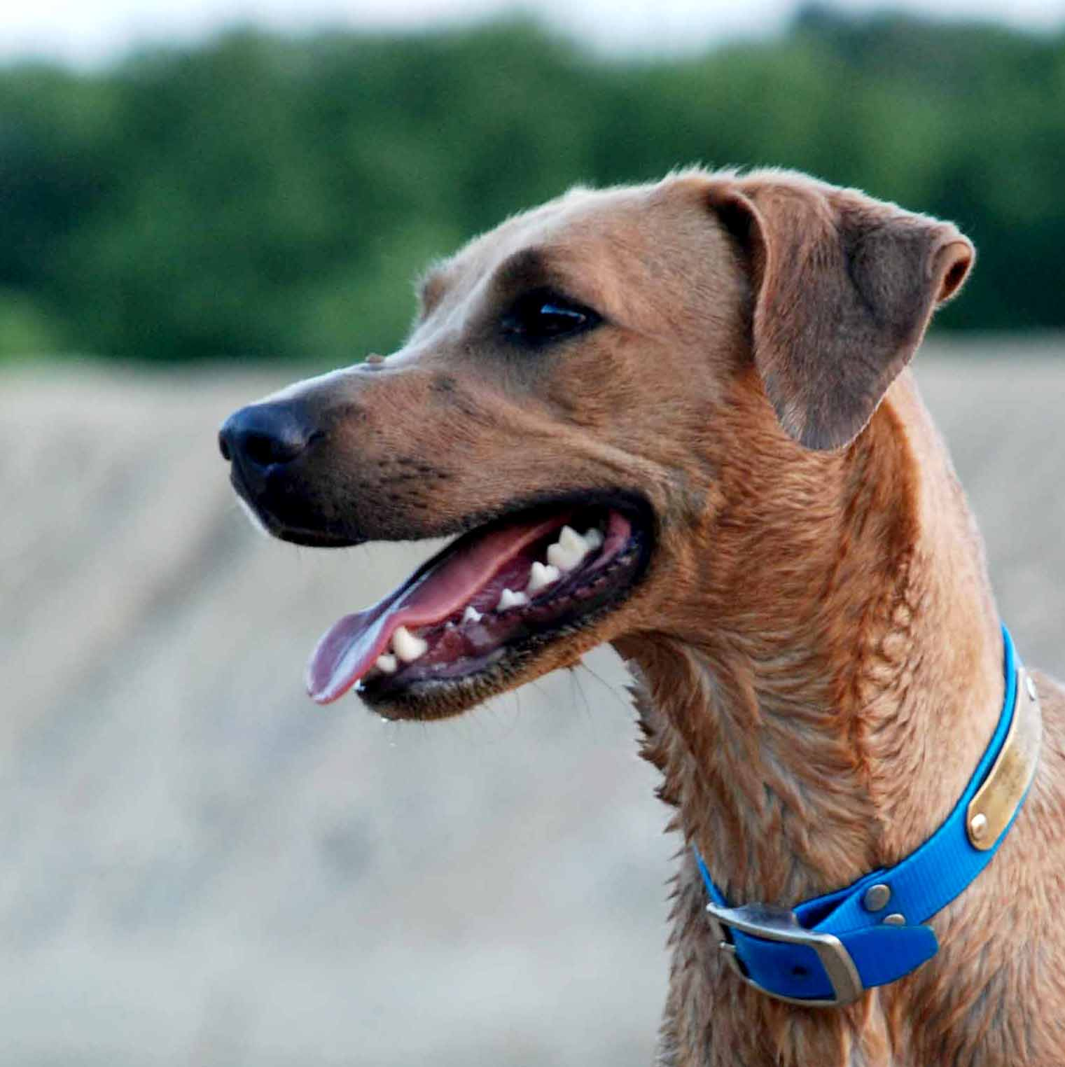PPR's Rosie, red colored Blue Lacy dog