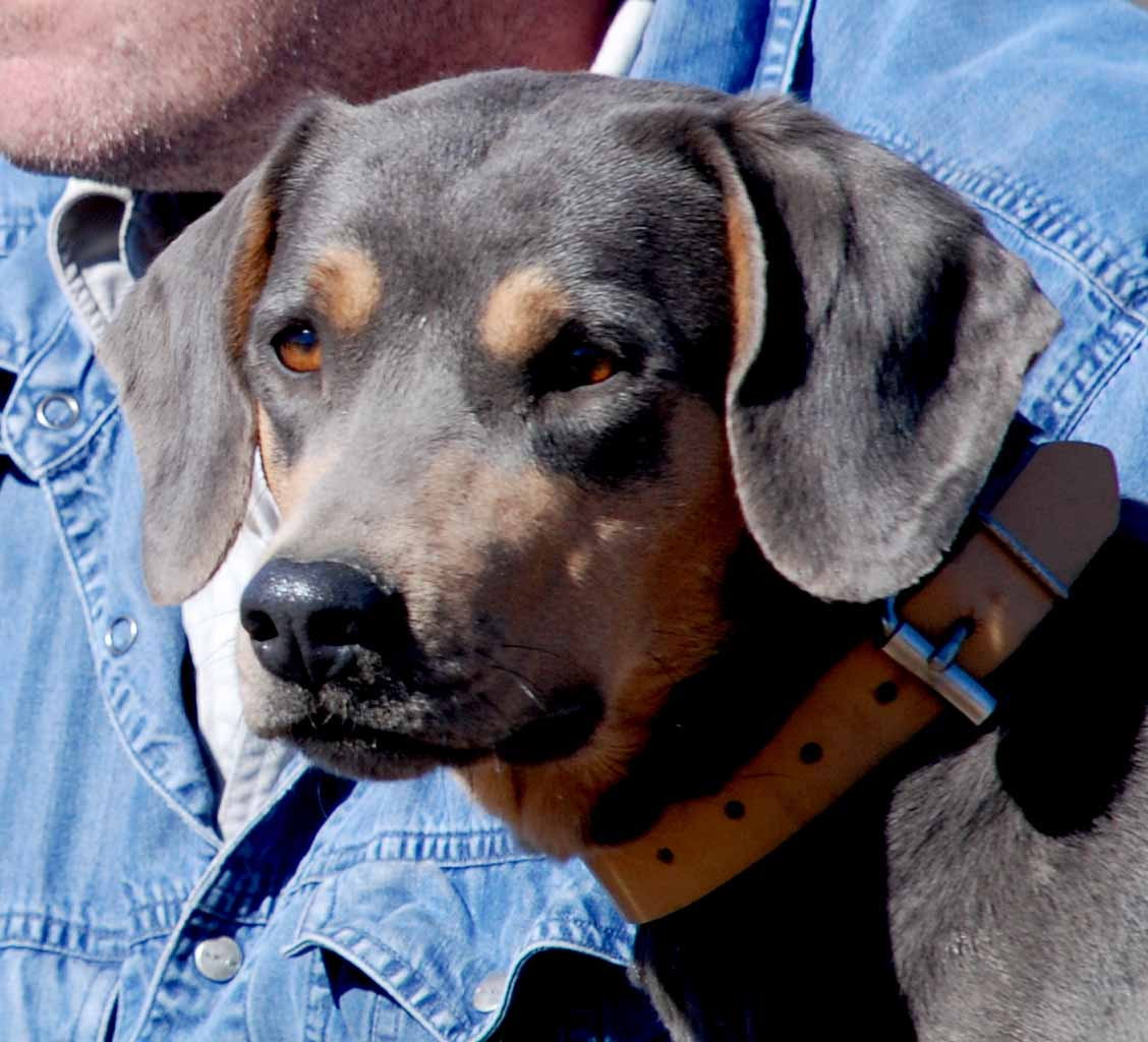 PPR's Stella,, tricolor Blue Lacy Dog with owner, Mike Collins.