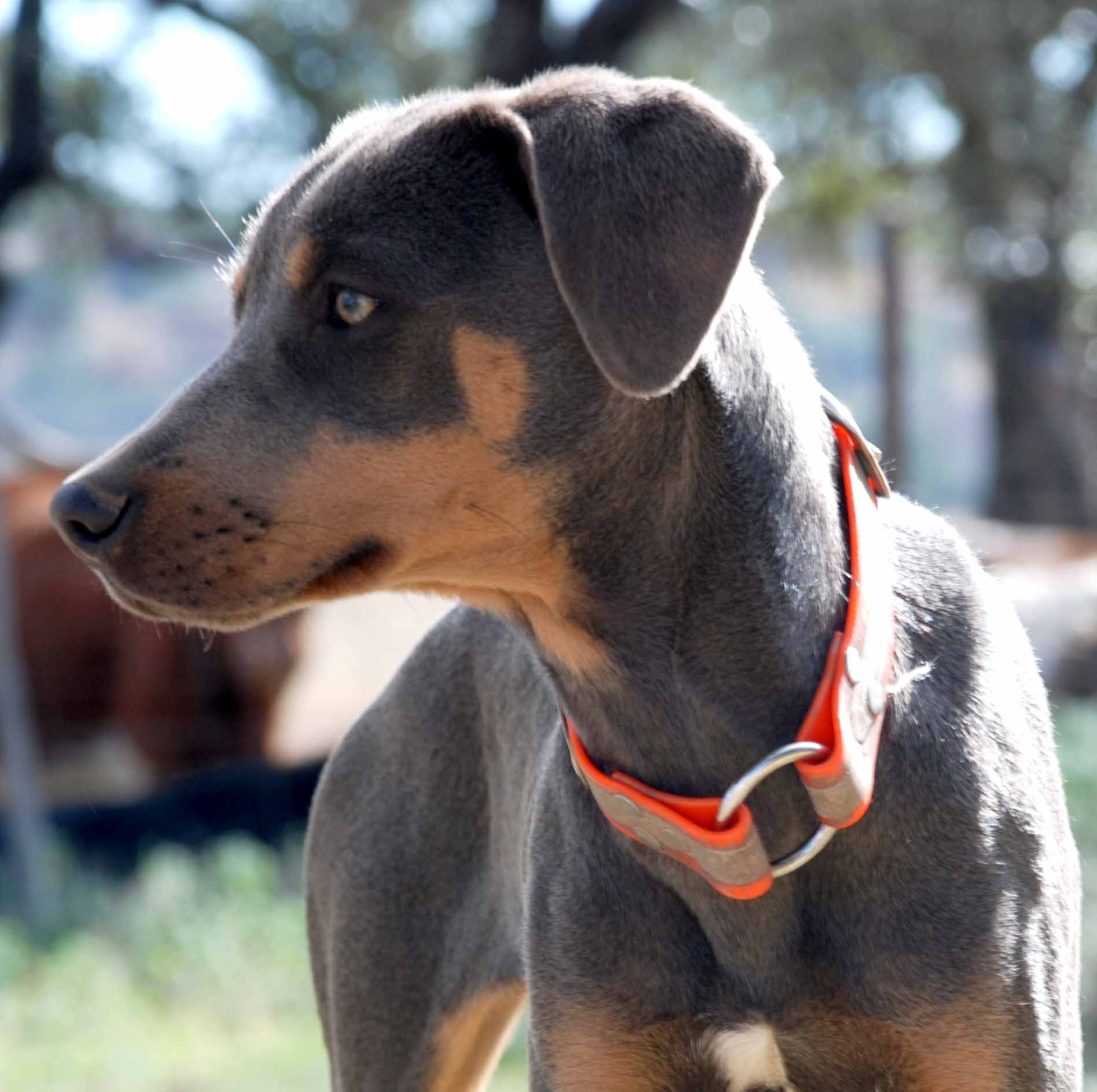 PPR's Emma, tricolor Blue Lacy dog intensely staring.