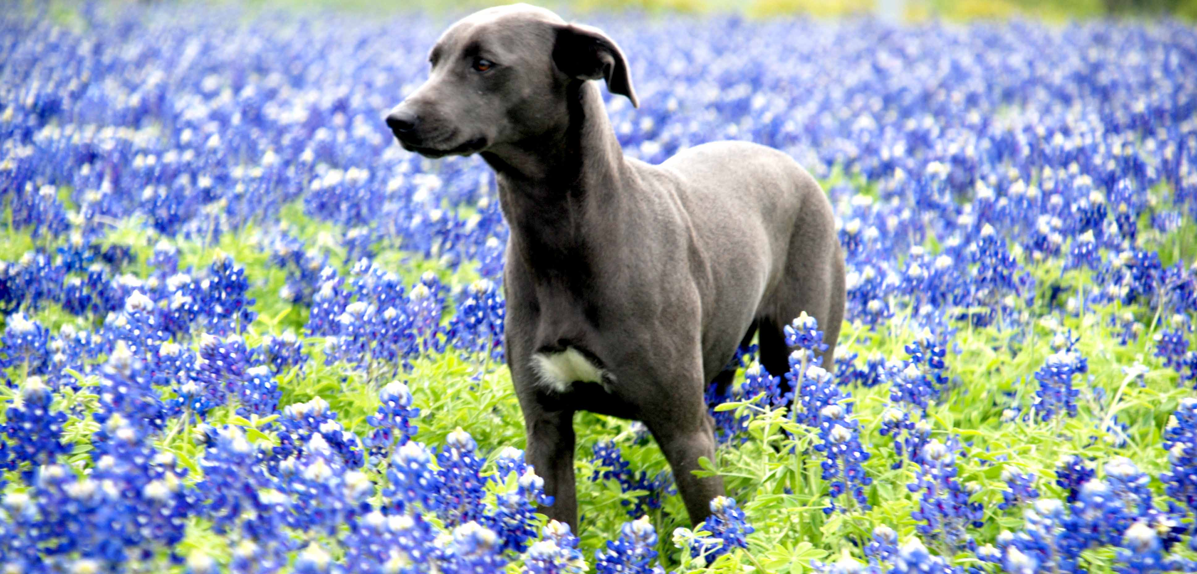 PPR's Sissy in Bluebonnets, Blue Lacy Dog