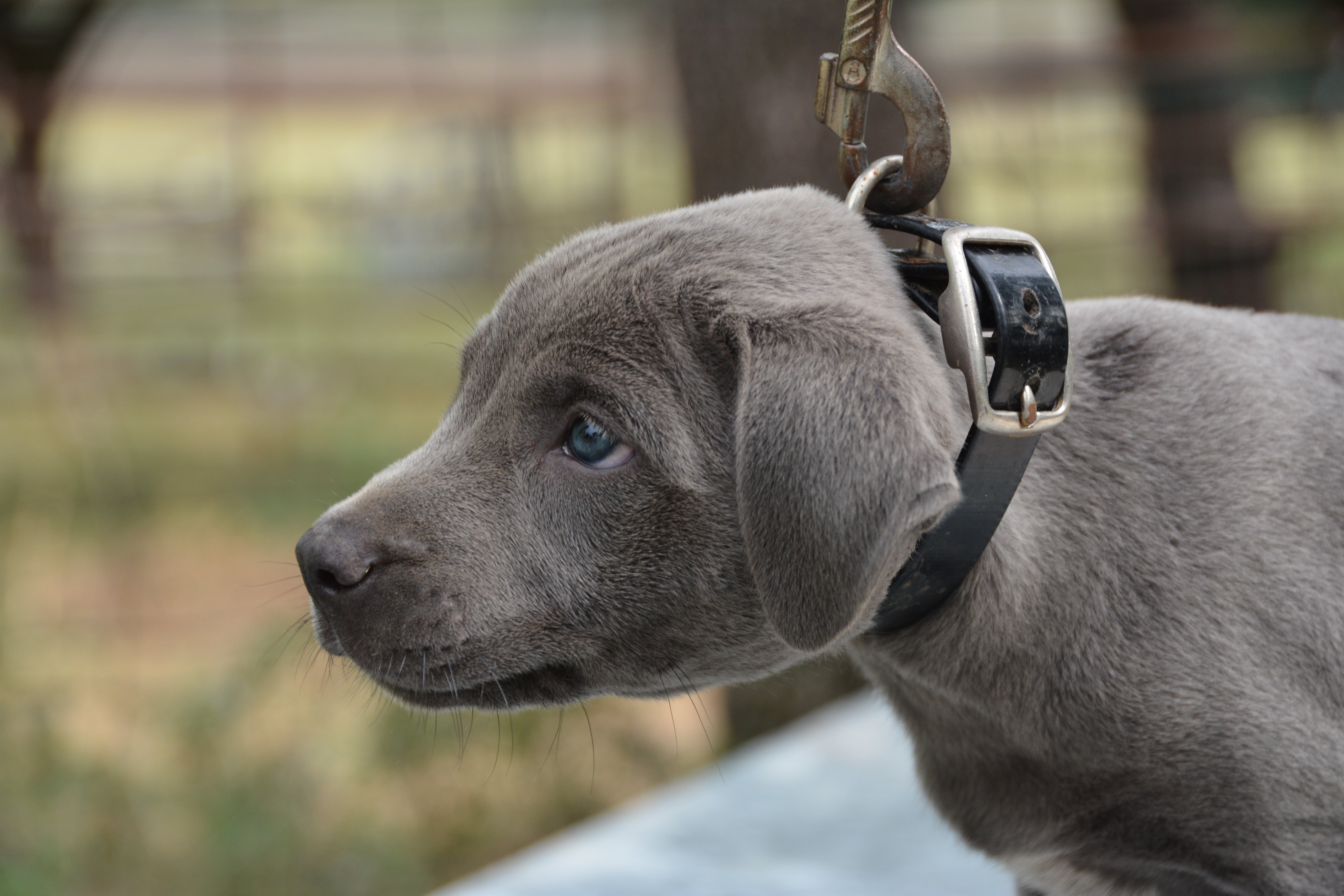 "Blue Lacy Puppy Blue Colored Male ""Cloud"" from Pecan Peak Ranch"