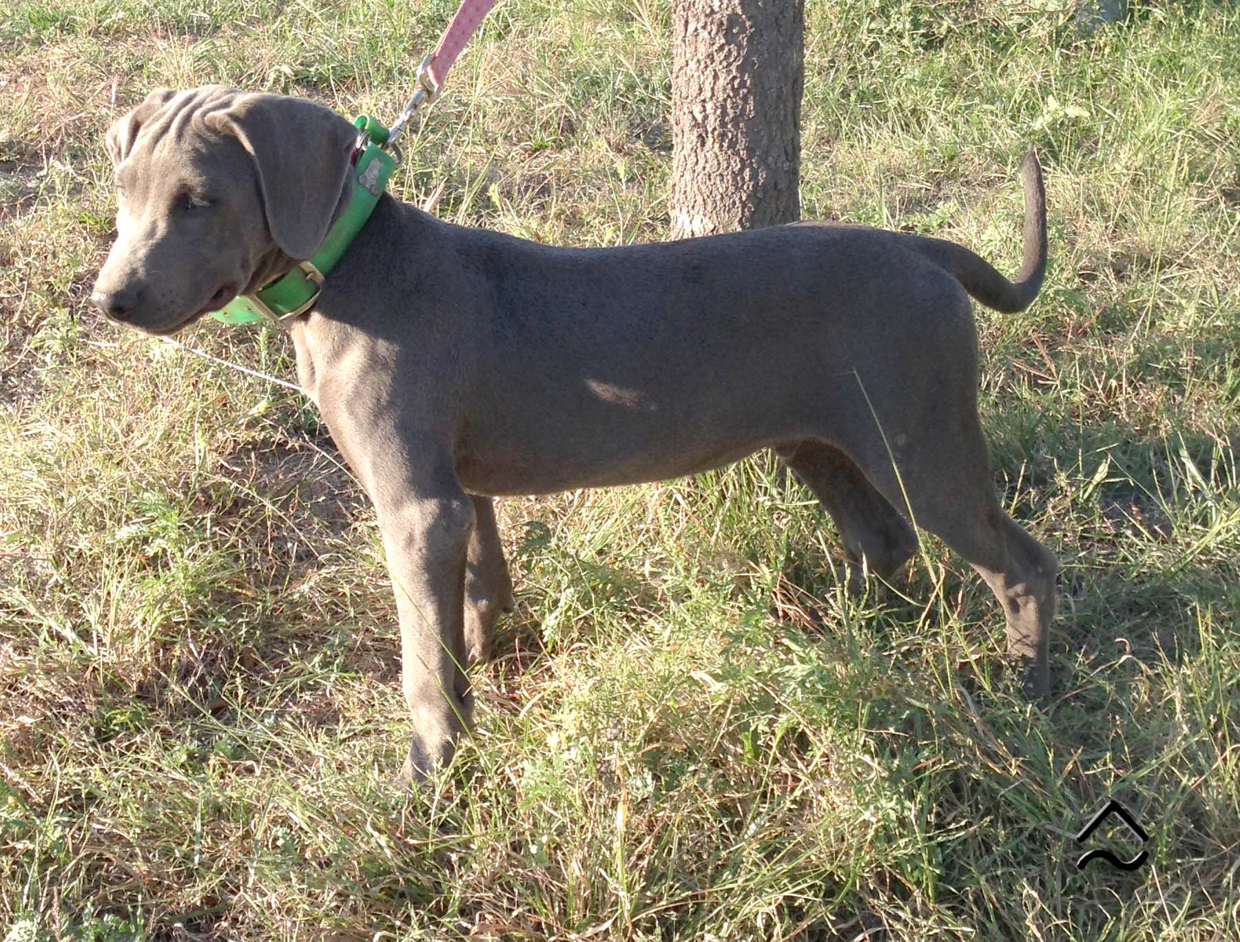 """Blue Lacy Puppy Blue Colored Male """"Cloud"""" from Pecan Peak Ranch"""