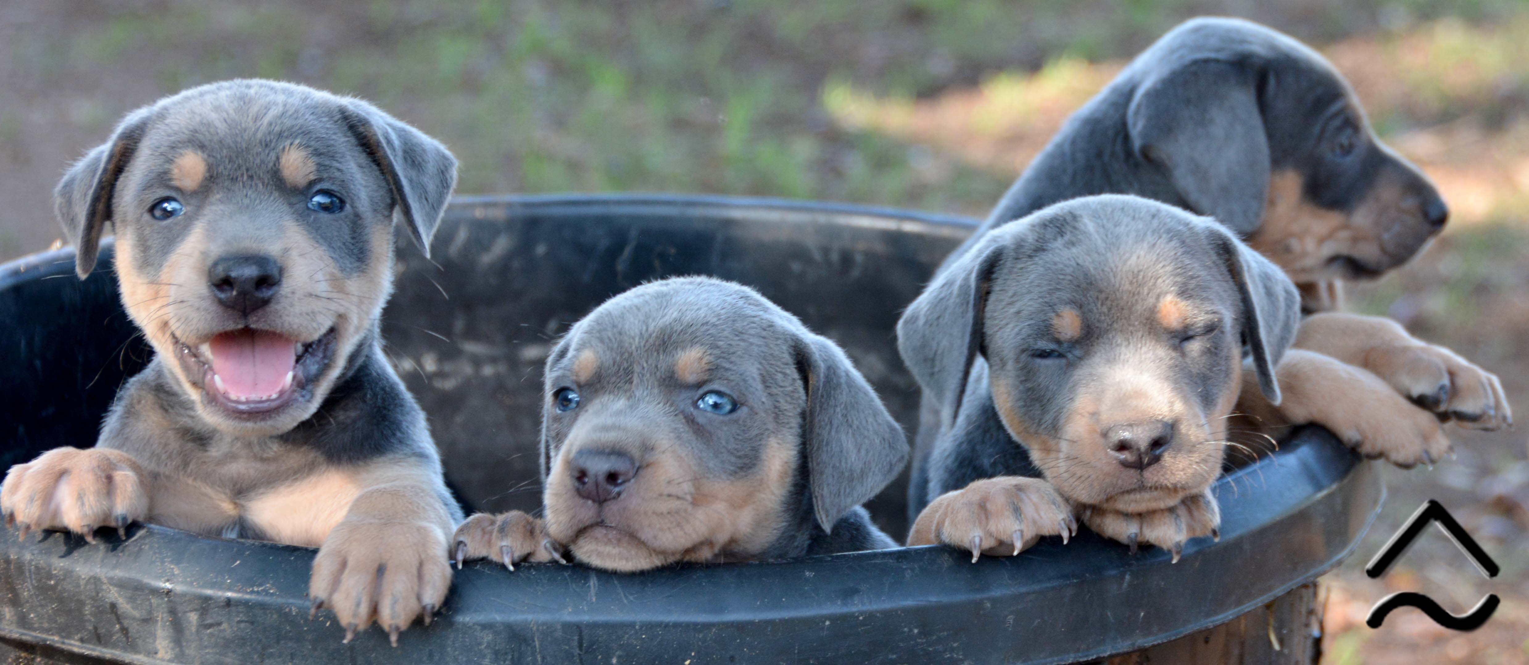 Tricolor Litter of Blue Lacy Puppies